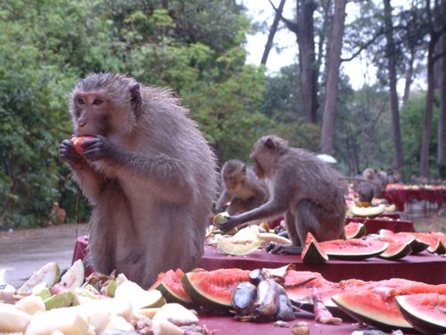 Songkran feast for monkeys at Don Chao Poo, Phana
