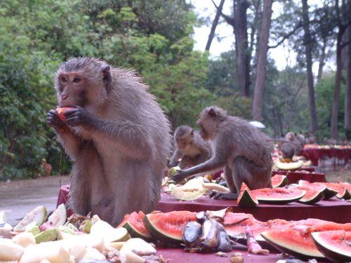 Songkran feast for monkeys at Don Chao Poo, Phana