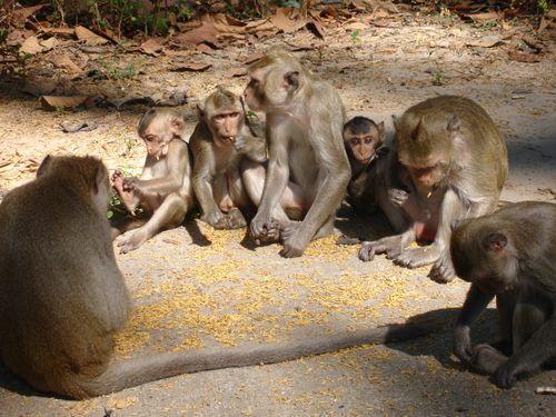 Monkeys eating rice provided by Phana Municipality