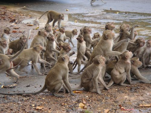 Monkeys expecting food in Don Chao Poo