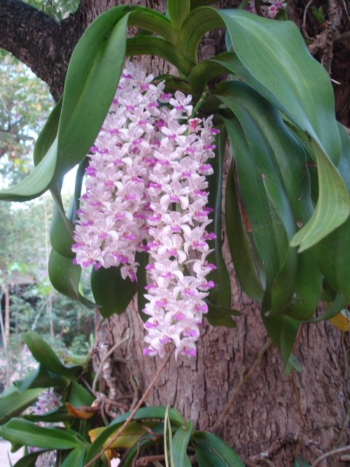 Wild Orchid -- Chang Kra
