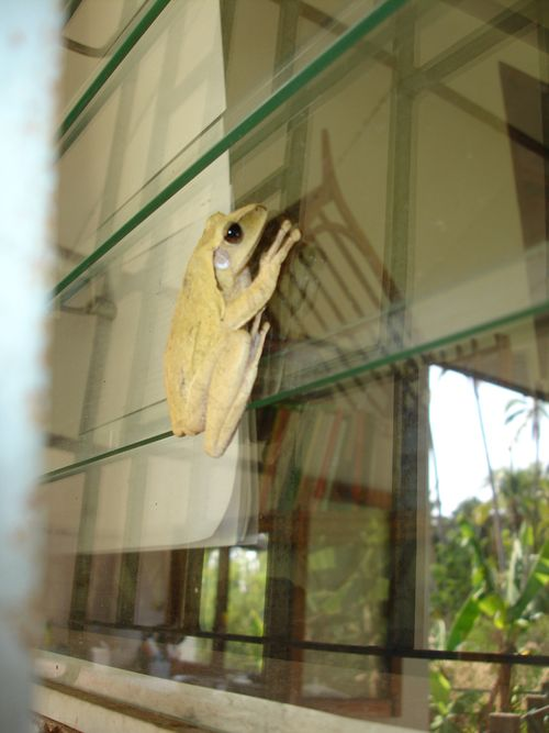 Frog at window