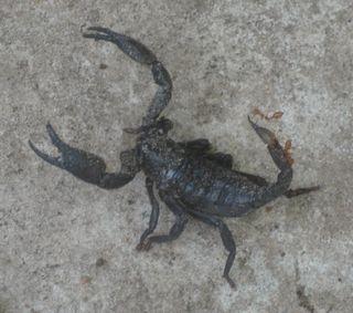 Scorpion14