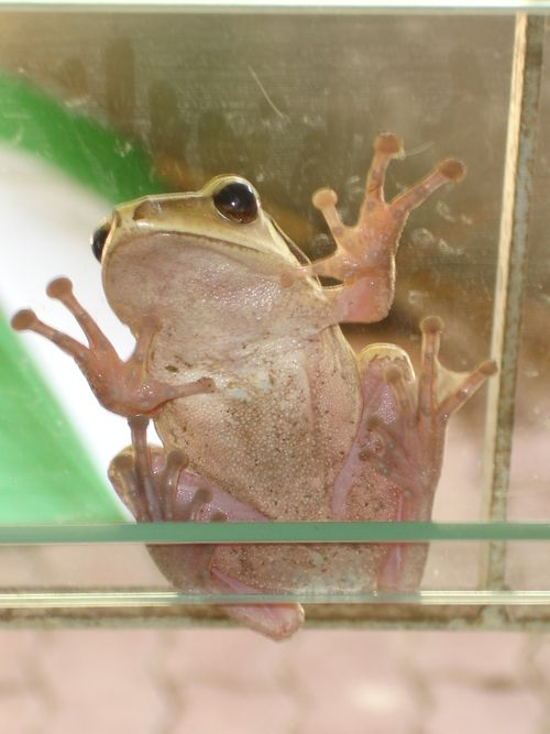 Frog at window2