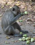 Macaque eating champoo